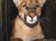 Mountain lion that was being tracked is struck and killed