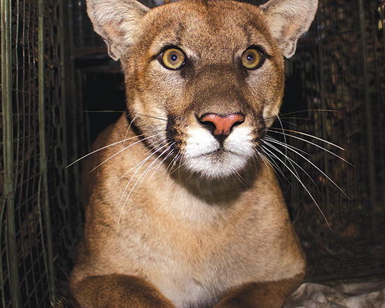 Mountain lion P-61, shown here in October 2017 in the eastern end of the Santa Monica Mountains, was killed as he tried to cross the 405 Freeway last month. (photo courtesy of the National Park Service)