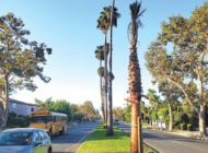 New palm trees for Highland Avenue median