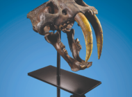 Saber-toothed cat fossil still offered for sale