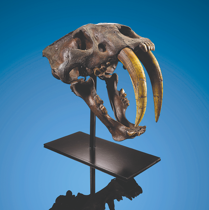 A saber-toothed cat skull remains on the auction block after it failed to sell on Sept. 28. (photo courtesy of Heritage Auctions)