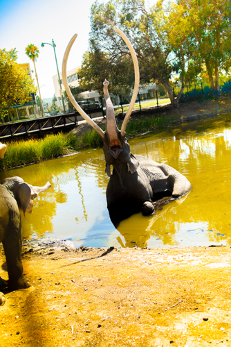 The family of mammoths splashing in the Tar Pit lake will be spared in two of the proposals for the reimagined museum. The third option moves the figures into an indoor exhibit. (photo by Andy Kitchen)