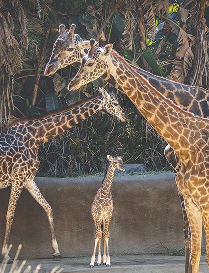 Zoo's new giraffe
