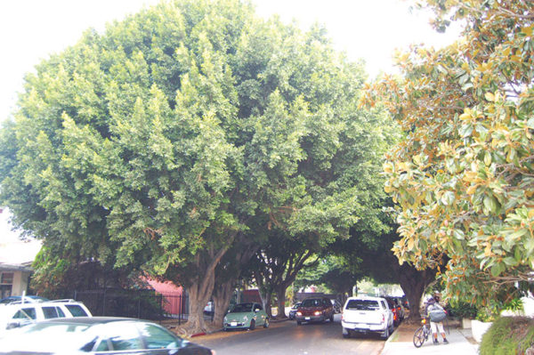 In 2018, City Councilman David Ryu stepped in to save ficus trees onCherokee Avenue that the city had scheduled for removal. (photo by Edwin Folven)