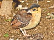 Zoo announces birth of Congo peafowl chick