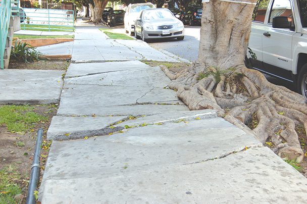 The city is working on a program that would focus on ways to preserve trees when sidewalks are repaired. (photo by Edwin Folven)