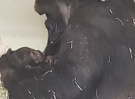 L.A. Zoo announces new addition to gorilla family