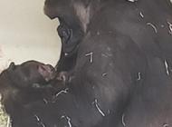L.A. Zoo announces new addition to gorilla family