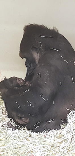 Western lowland gorilla N'dija and her new baby