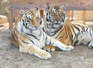 Feuer secures conviction for abuse of tiger cub