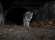 Resolution aims to further protect mountain lions