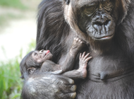 L.A. Zoo's new baby gorilla determined to be a girl