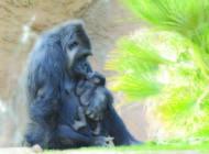 Zoo names new addition to gorilla family