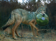 New study looks at urban coyote diets in L.A.