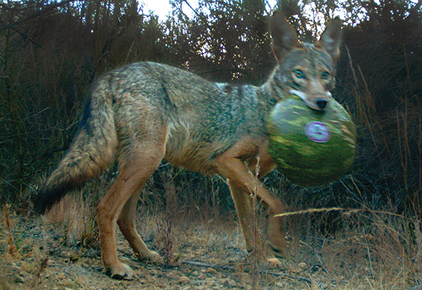 The National Park Service launched its coyote study in 2015. (photo courtesy of the National Park Service)