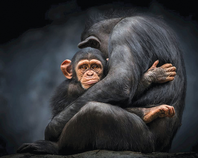 An ape holds her baby in their enclosure at the L.A. Zoo. (photo courtesy of L.A. Zoo)