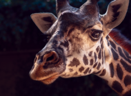 L.A. Zoo giraffe dies at 12