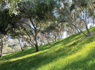 Barnsdall Park's historic olive grove to be restored
